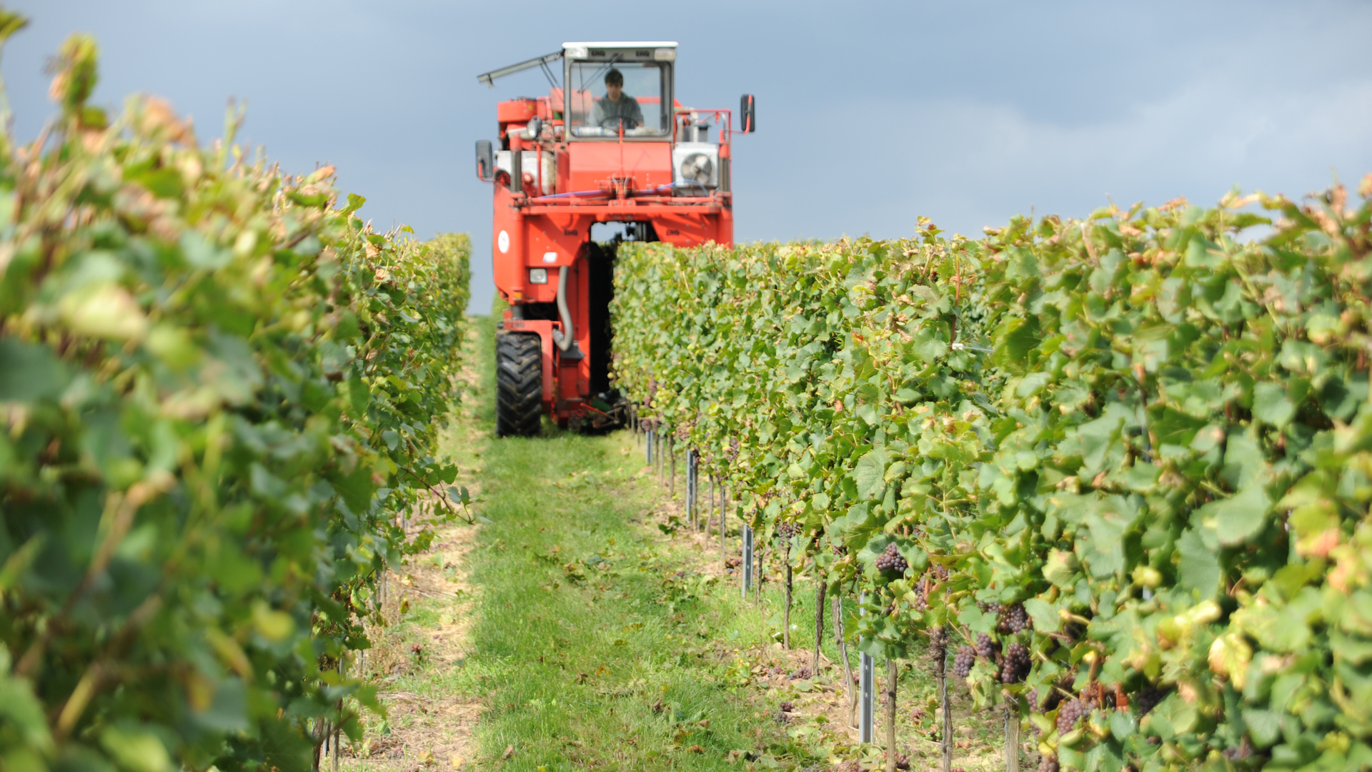 Der Vollernter rüttelt die reifen Früchte von den Weinstöcken.
