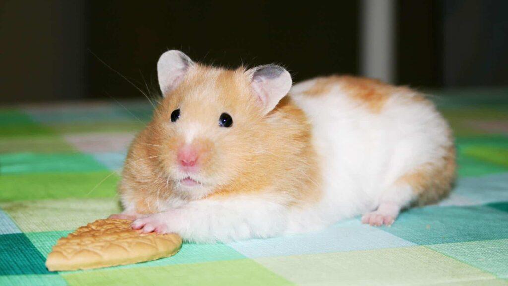 Hamster mit Keks